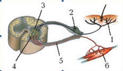 Нейроны Регулирующие Работу Органов