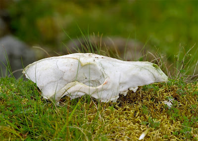 Fox skull vulpes vulpes
