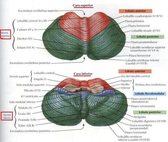 Anatomia y Fisiologia del Sistema Nervioso: EL CEREBELO