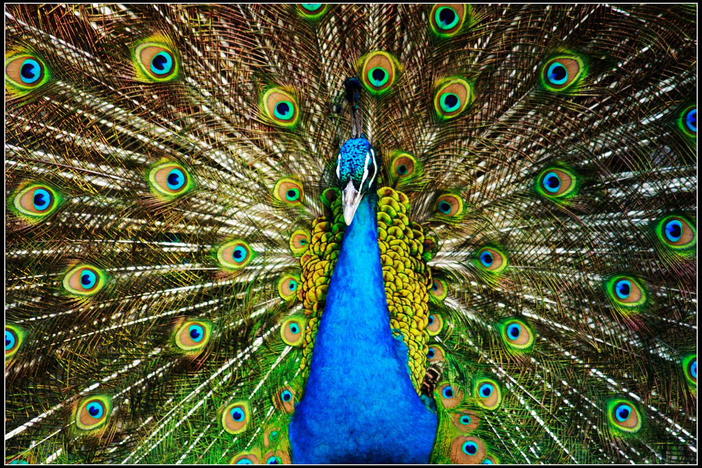 Peacock   Wild Life Animal