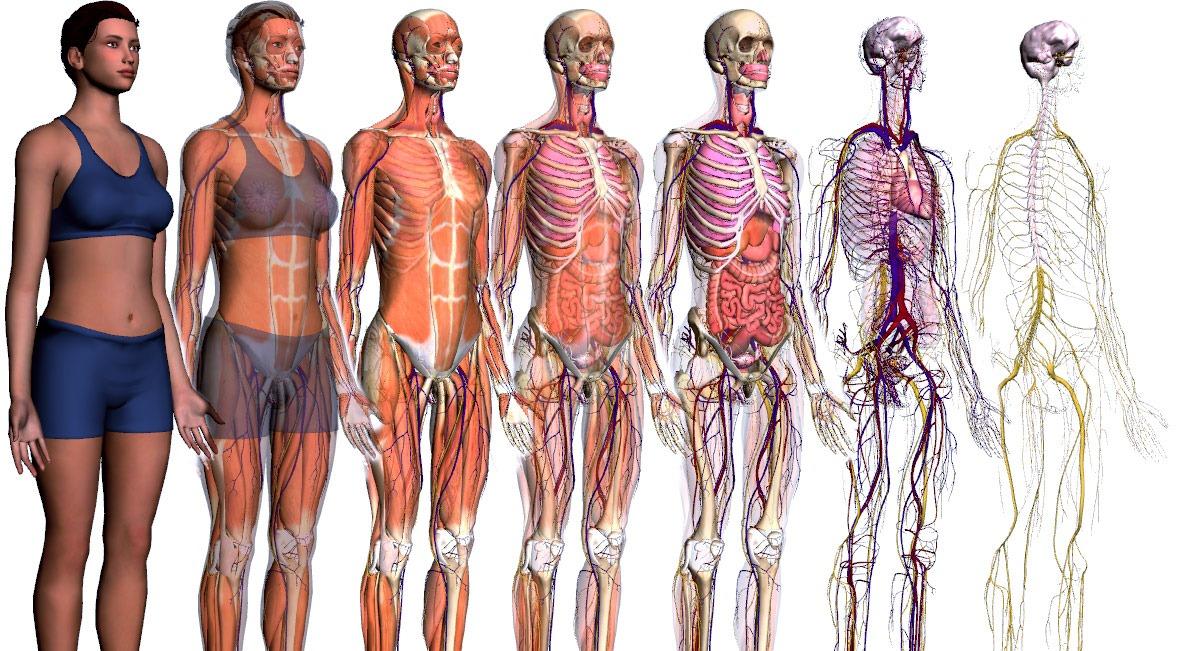Referencias de anatomía - Animum