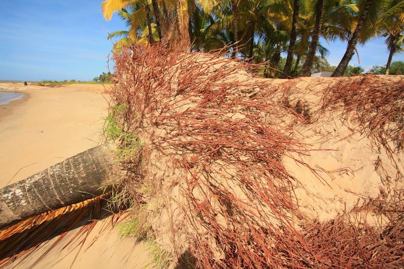 Fabulonfabatterritenguyane un peu de flore - Racine d un palmier ...