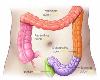 usus besar manusia