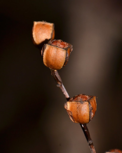 square seed pods of seedbox -  Ludwigia alternifolia