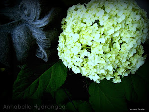 Annabelle Hydrangea