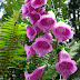 Foxgloves flowers.