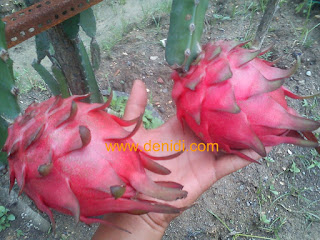 buah naga siap petik