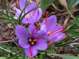 Crocus sativus safran