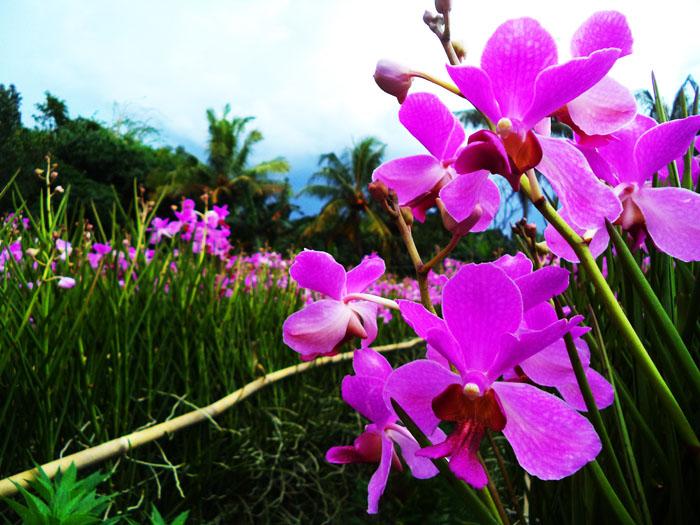 budidaya bunga anggrek tanah vanda douglas