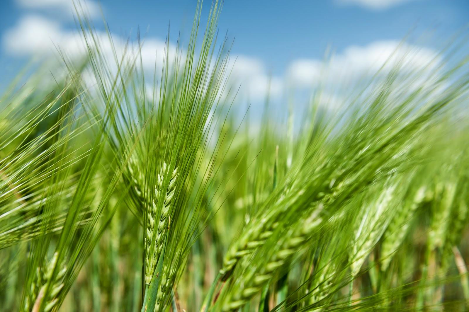 Green Wheat Fields In Pictures ? Elsoar