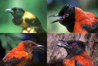 burung pitohui