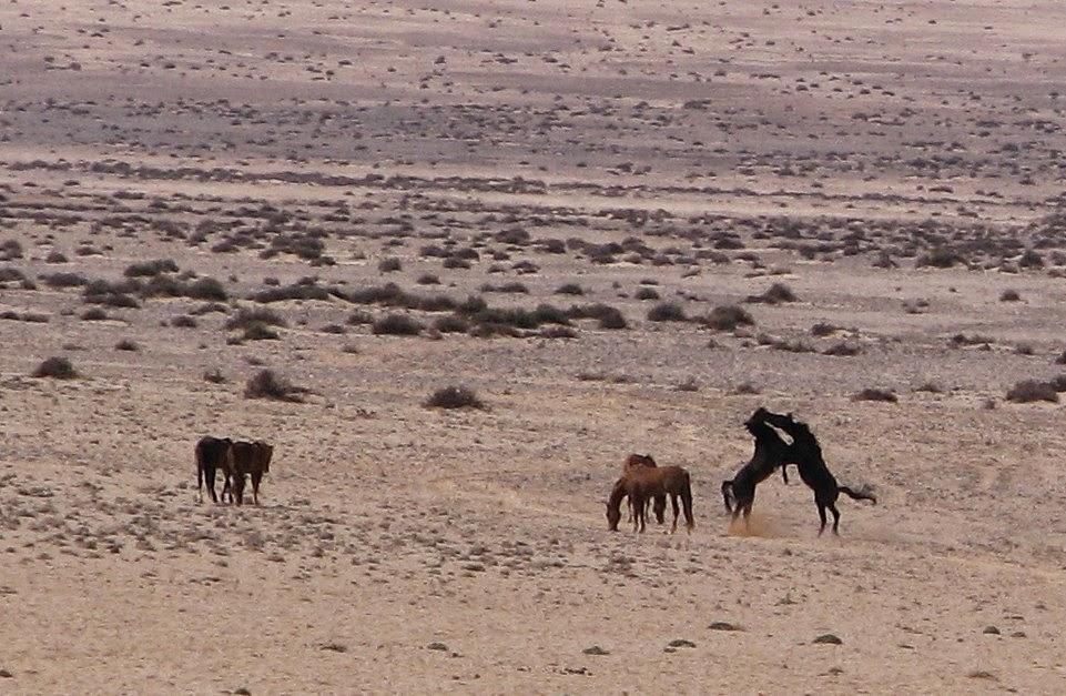 Wilde perde van die Namib