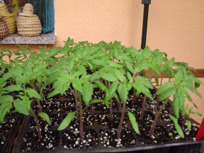 como cultivar tomates en sus huertos caseros