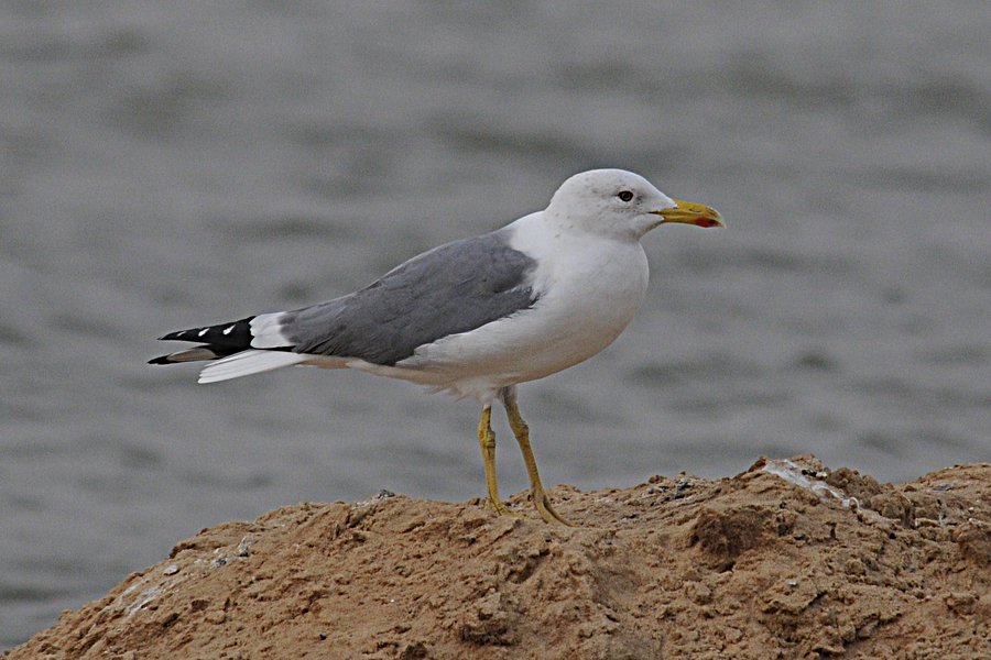 Steppe Gull (adult winter) - 10th February 2012