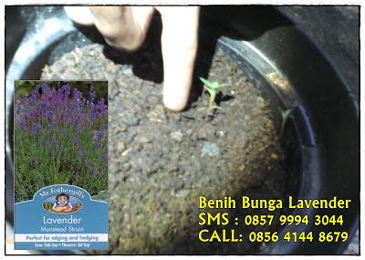 jual benih bunga lavender contoh cara menanam lavender