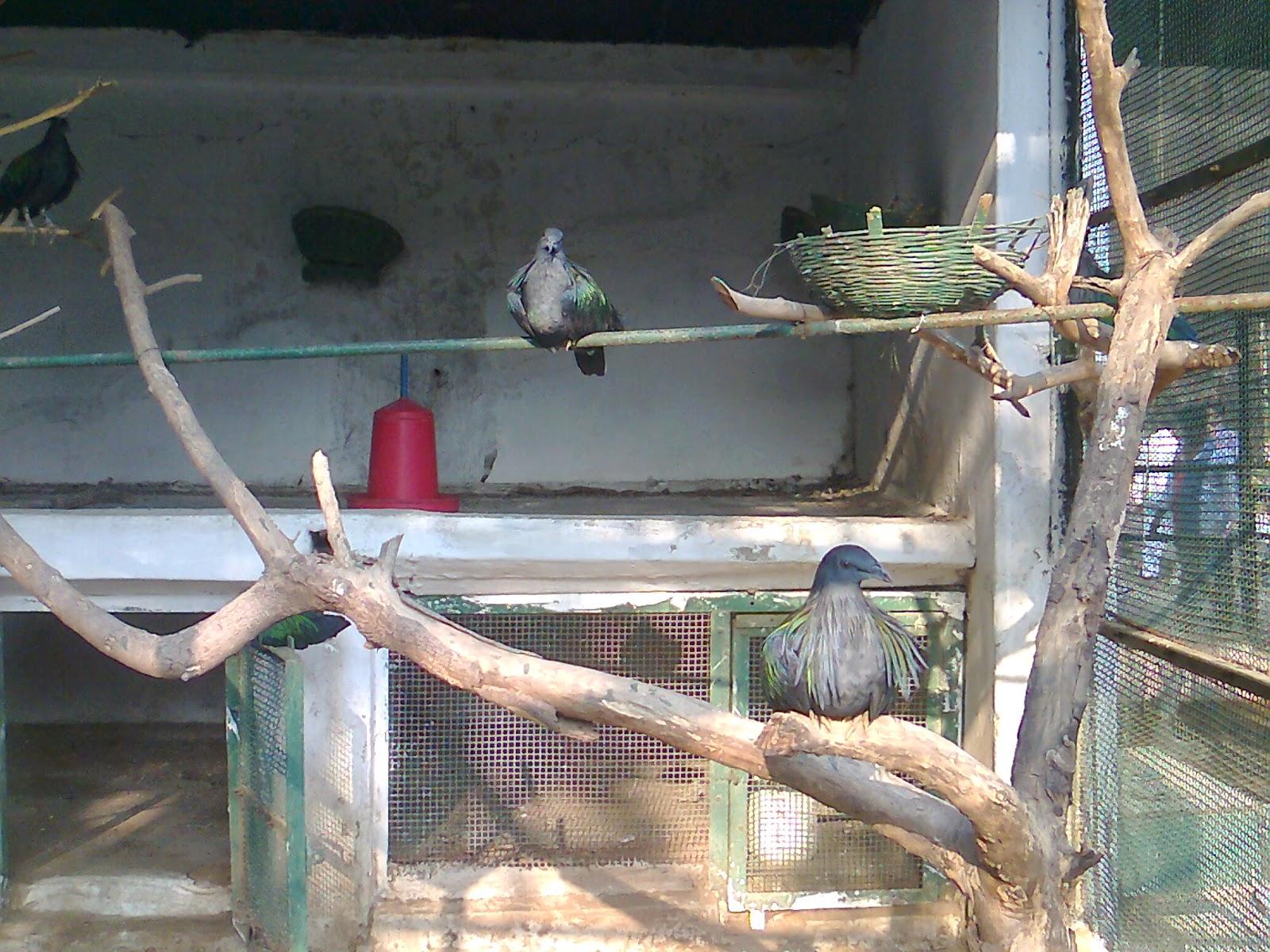 nikobar pigeon kankaria zoo