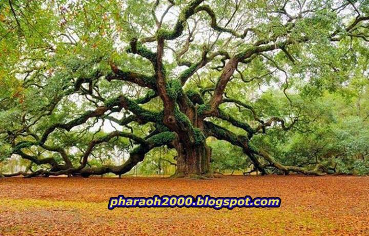 شجرة ملائكة أواك عمرها 400 عام تتواجد بولاية جنوب كارولينا