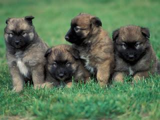 Anakan Anjing Belgian Malinois