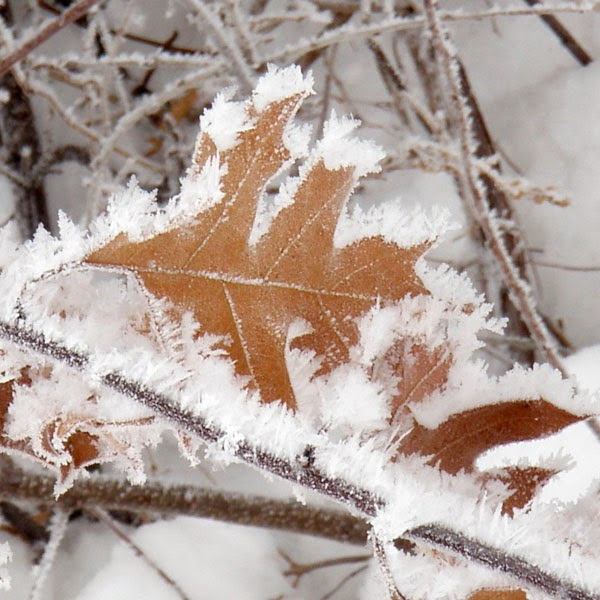 Snow Frost On An Oak Leaf - Snow Photograph