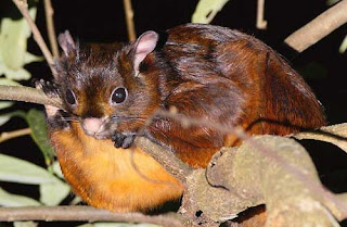 Foto Tupai Hairy-footed Flying Squirrel (Belomys pearsonii)
