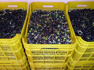 raccolta delle olive, cassette con olive