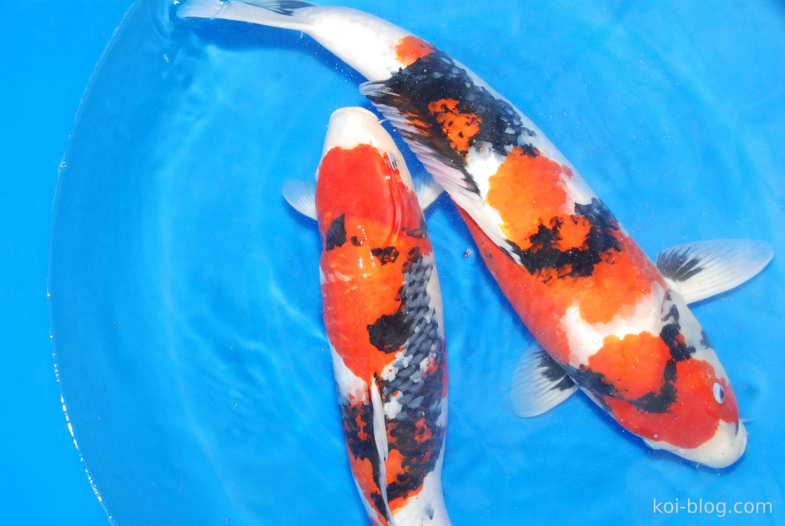 Koi blog koi for Wild koi fish