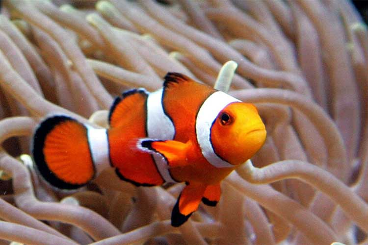Nemo fish fun animals wiki videos pictures stories for Finding nemo fish names
