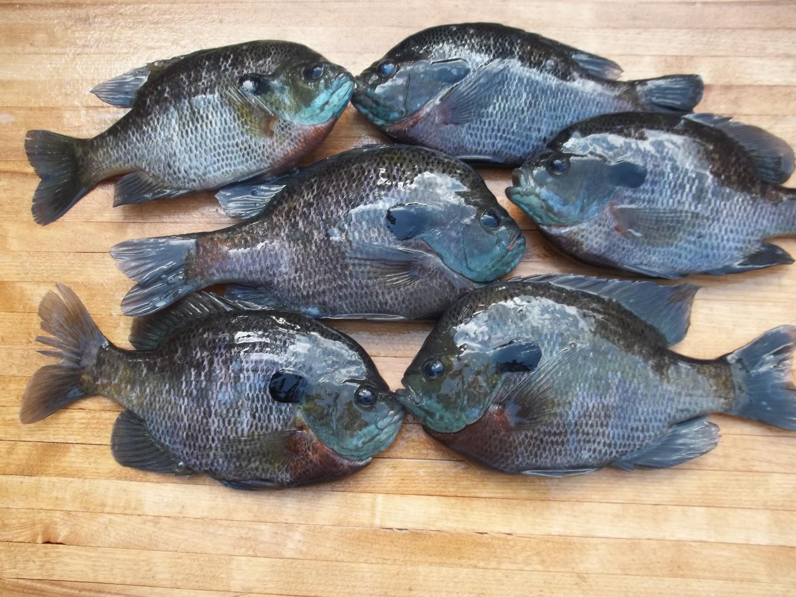 Fishing through life the landing of 100 big bluegills is for Blue gill fishing