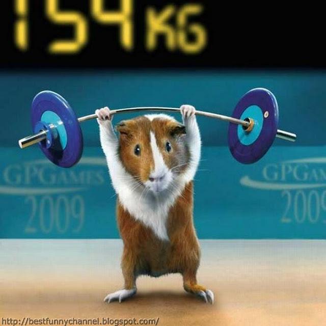 Guinea pig weightlifter.