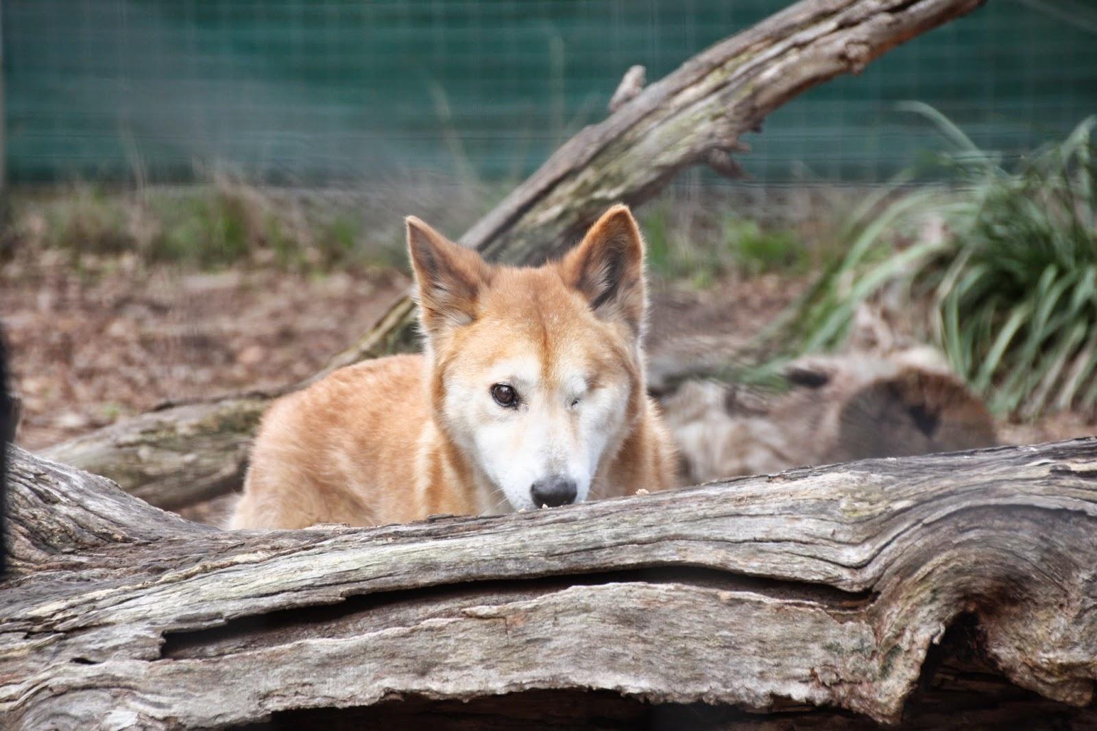 Dingo, Moonlit Sanctuary