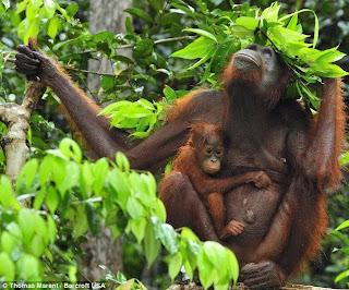 Orangutan+with+leaf+hat