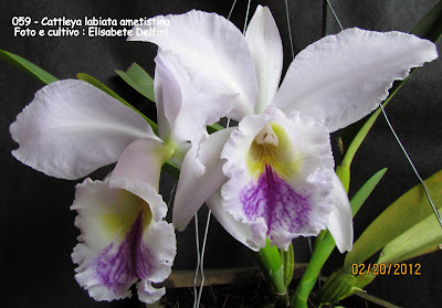 Cattleya labiata ametistina do blogdabeteorquideas
