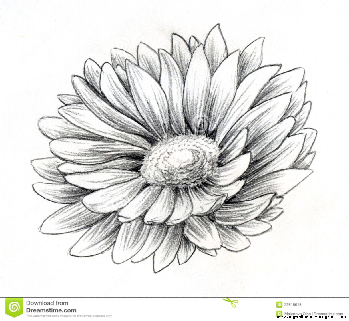 Daisy Flower Pencil Sketch Royalty Free Stock Photos   Image 29816018