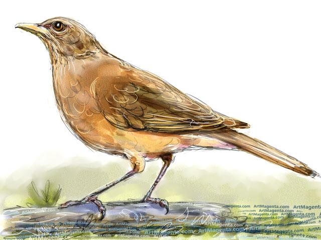 Clay-colored thrush sketch painting. Bird art drawing by illustrator Artmagenta