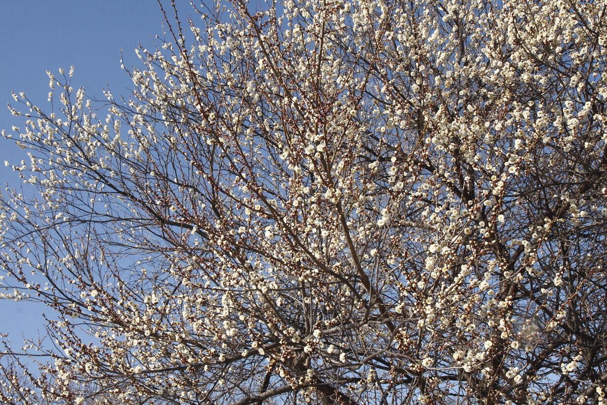 東平井の梅