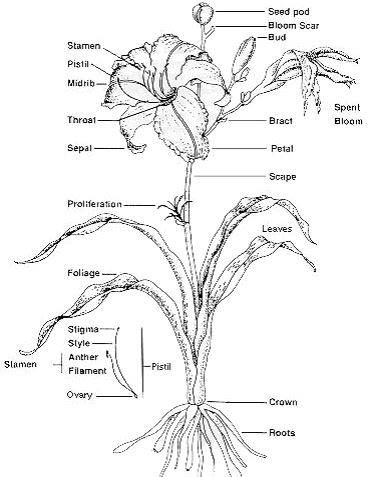 Belles Biology Diagram Of A Lily