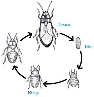 Proses metamorfosis tidak sempurna pada Ordo Hemiptera