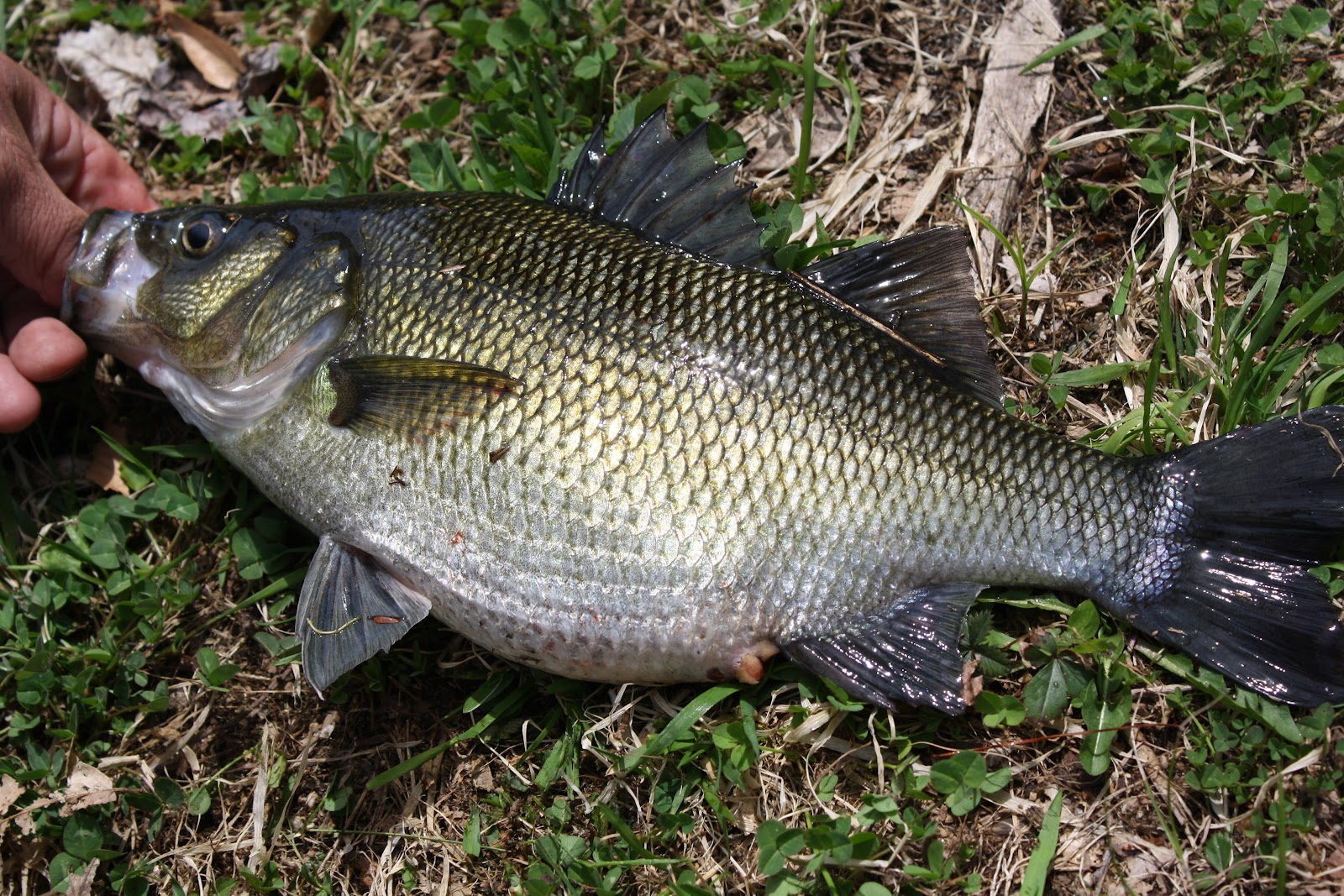 White perch fish for Perch fish facts