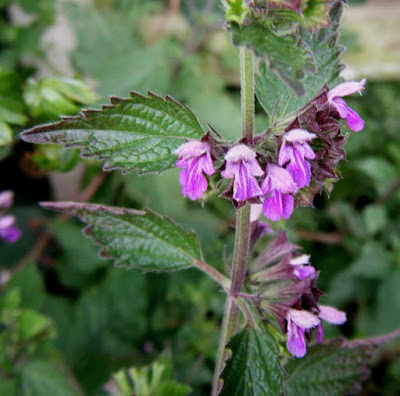 Black Horehound (Ballota Nigra) Overview, Health Benefits, Side effects