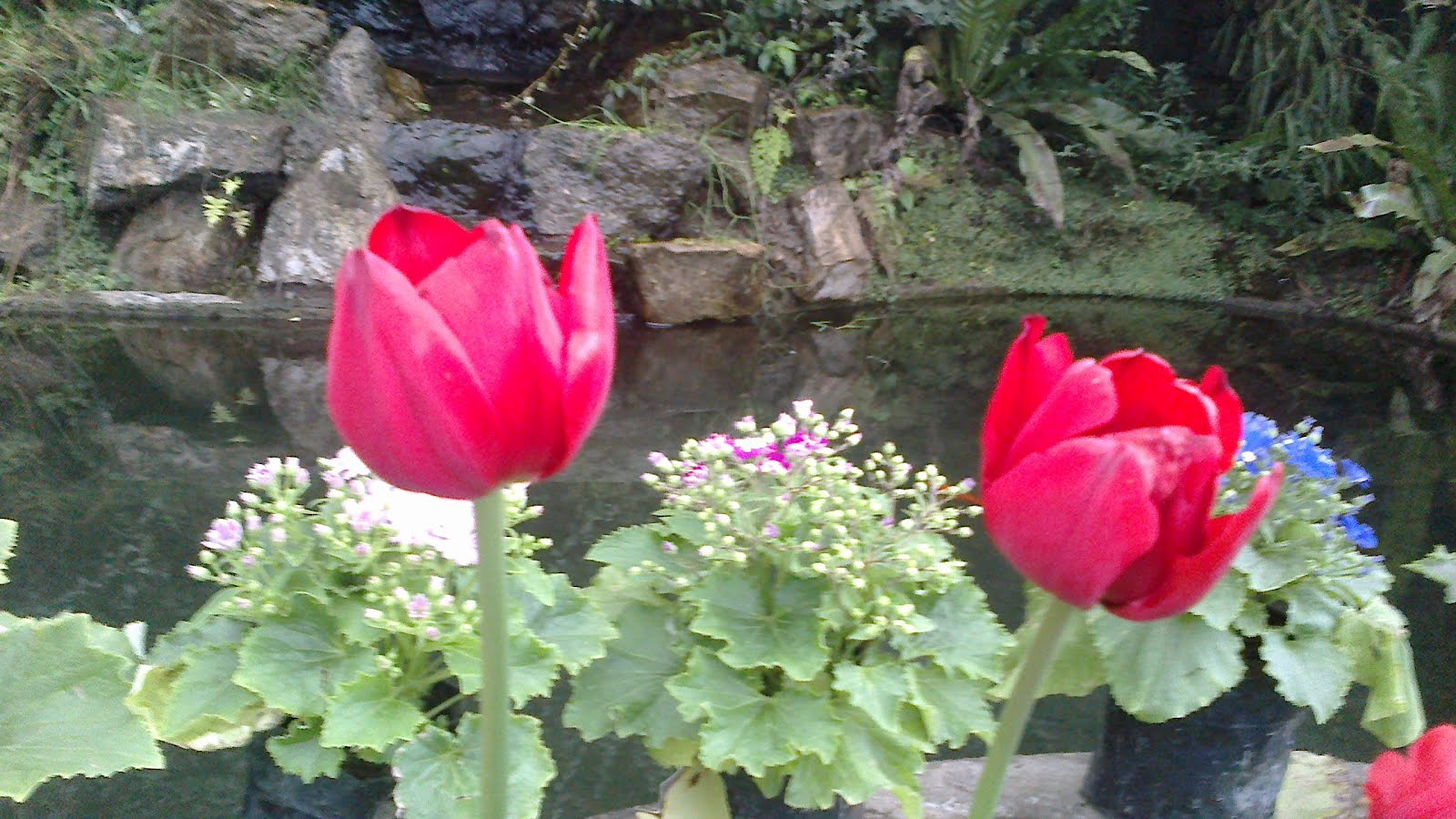 Charm of Red Tulips