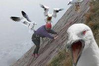 gaviotas atacando a un hombre