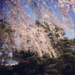 芝増上寺のしだれ桜