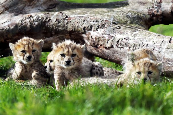 Septuplet Cheetah cubs make public debut in the UK (Video-Photos)
