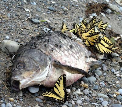 Svalehale sommerfugle drikker salte fra død karpe