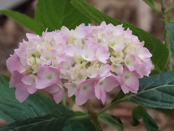 Hydrangea Blooms on the farm  ...