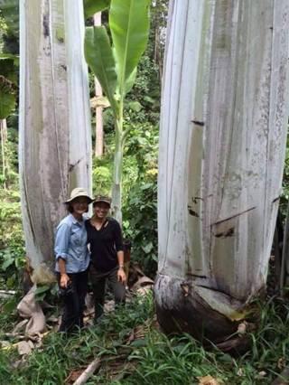 Fenomena Pohon Pisang Raksasa Setinggi 25 meter