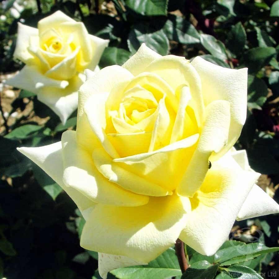 Amarelas Rosas