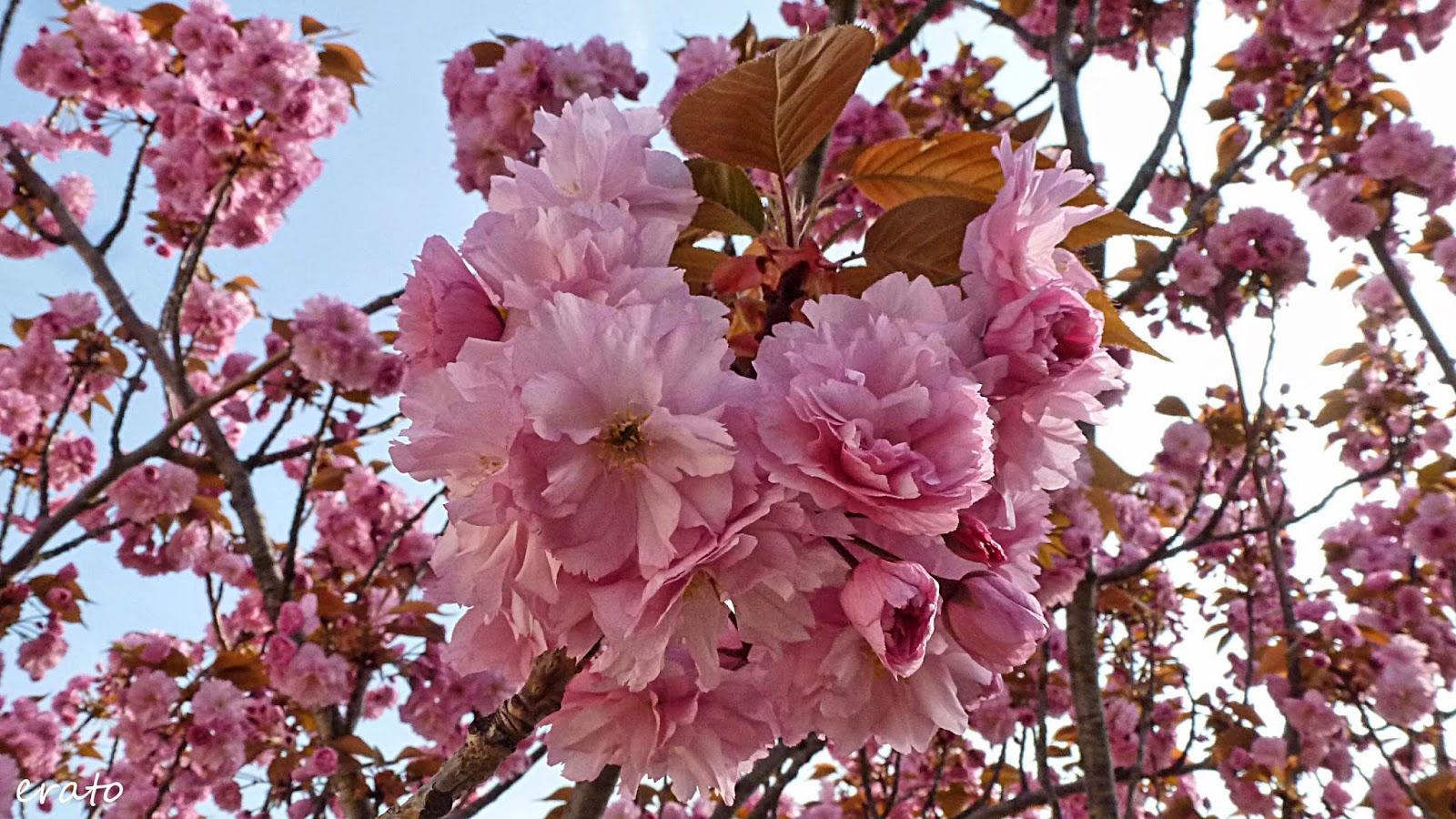 Cerisier Bois Mort : R?veries: Cerisier du Japon.