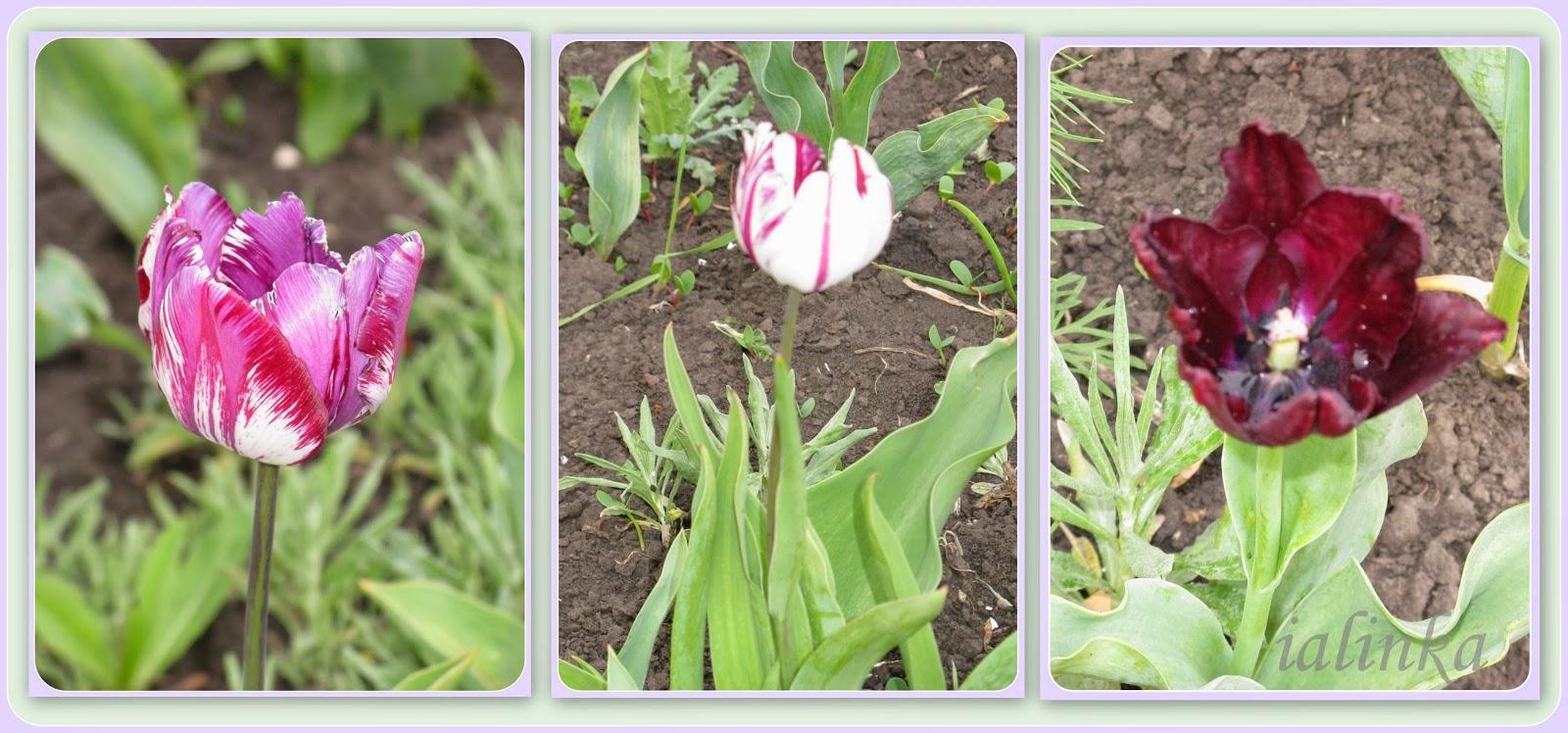 селекционные  тюльпаны