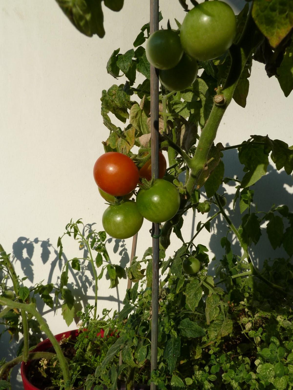 gem se naschen die ersten tomaten kriegen farbe. Black Bedroom Furniture Sets. Home Design Ideas